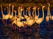Nuptial parade and head flag movement of Flamingos. Nuptial parade of pink flamingos at sunset in the Camargue, France. Park ornithologique de Pont de gau royalty free stock images