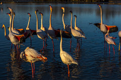 Nuptial parade , head flag movement and wing salute of Flamingos at sunset. Nuptial parade of pink flamingos at sunset in the Camargue, France. Park royalty free stock image
