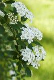 Nuptiale-Tressez le Spiraea (Vanhoutte) Photo libre de droits