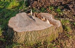 Nur der Stumpf bleibt vom großen Baum Lizenzfreies Stockbild
