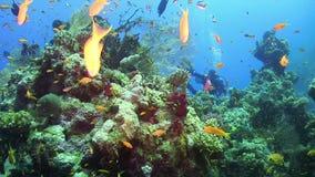 Nurek pływa nad rafami koralowa zdjęcie wideo