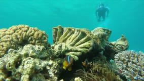 Nurek pływa rafa koralowa zdjęcie wideo