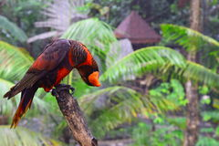 Nuri Bird (Lory) Arkivbilder