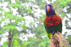 Nuri ptak (Lory) Zdjęcia Royalty Free