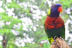 Nuri ptak (Lory) Zdjęcie Royalty Free