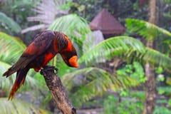 Nuri ptak (Lory) Obrazy Stock