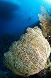 nurka fan gorgonian morze Zdjęcie Stock