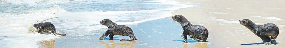 Nurkowa foka w panoramicznym Fotografia Royalty Free