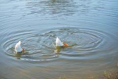 Nurkowa kaczka Fotografia Royalty Free