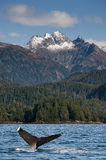 Nurkowy Humpback wieloryb Obrazy Royalty Free