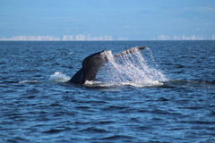Nurkowy Humpback wieloryb Fotografia Stock