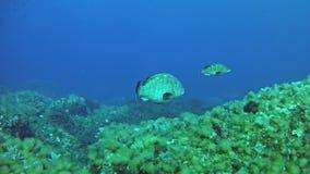Nurkujący Maldives - Grouper ryba zbiory wideo