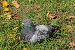 Nurkujący w trawie Obraz Royalty Free