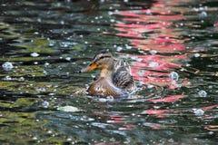 nurkuje Anas platyrhynchos które iść karmić chlebowy unosić się w Białym Jeziornym Gatchina parku, obraz stock