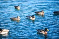 nurkuje jeziornego dopłynięcie Obrazy Royalty Free