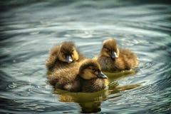 Nurkuje małego kaczątka kaczki kaczatka maÅ 'e Obraz Royalty Free