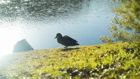 Nurkuje na jeziornym brzeg czyści swój piórka Trawy i drzew odbicie w jeziorze z słońcem migocze zbiory wideo