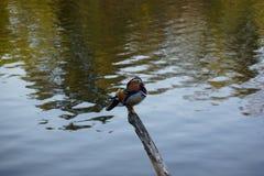 Nurkuje obsiadanie na kija odzwierciedlać drzewa w jeziorze fotografia stock