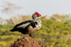 Nurkuje pozycję na kopu w gospodarstwie rolnym Fotografia Royalty Free
