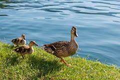 Nurkuje rodziny na jeziorze, mamy i dwa dzieciaków, fotografia royalty free
