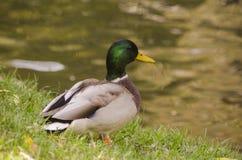 Nurkuje samiec na jeziorze, siedzi na trawie Zdjęcie Royalty Free