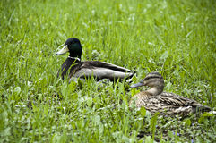 nurkuje trawy zieleń Obraz Stock