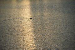 Nurkuje unosić się w wodzie podczas gdy słońce ustawia fotografia royalty free