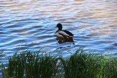 Nurkuje unosić się na rzece brzeg przerastający z trawą Drake na rzece, myśliwy chuje w trawie na Pogodnym obrazy stock