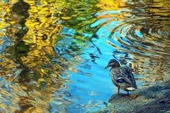 Nurkuje w stawie z abstrakt zamazującym odbiciem jesienny wrzeszczy obrazy royalty free