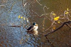 Nurkuje w stawie z gałąź żółci jesień liście fotografia royalty free