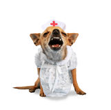 Nurse dog Royalty Free Stock Photo
