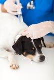 Nurse Injecting Dog Royalty Free Stock Photo