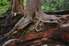 Nurse log in the Forest Royalty Free Stock Photography