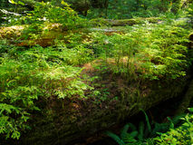 Nurse log Stock Photography