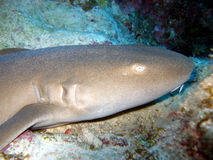 Nurse shark. A nurse shark rests on a sandy bottom and takes no notice of curious divers.  The shark has a skin texture like sandpaper which can be seen here Stock Photos
