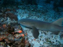 Nurse Shark Stock Photo
