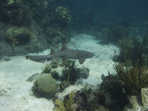 Nurse shark Royalty Free Stock Photography