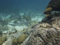 Nurse shark Stock Photography