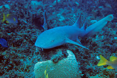 Nurse Shark Royalty Free Stock Image