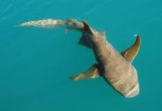 Nurse Shark. In clear blue water near Western Australia royalty free stock image