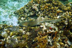 Nurse shark on a coral reef Royalty Free Stock Images