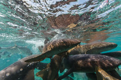 Nurse shark feeding frenzy Stock Photos