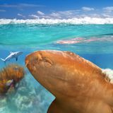 Nurse shark gata nodriza Ginglymostoma cirratum Royalty Free Stock Photos