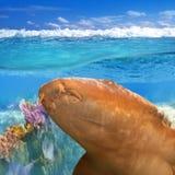 Nurse shark gata nodriza Ginglymostoma cirratum Stock Photo