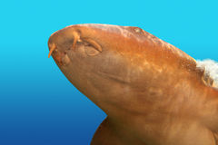 Nurse shark gata nodriza Ginglymostoma cirratum Royalty Free Stock Photos