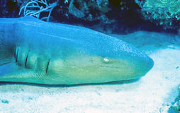 Nurse Shark Royalty Free Stock Images