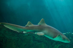 Nurse shark Ginglymostoma cirratum. Royalty Free Stock Images