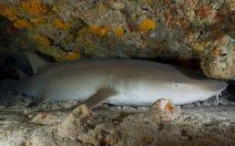 NURSE SHARK/ nebrius ferrugineus Stock Photo