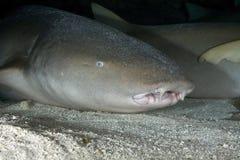 NURSE SHARK/nebrius ferrugineus Stock Image