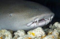 NURSE SHARK/nebrius ferrugineus Royalty Free Stock Image